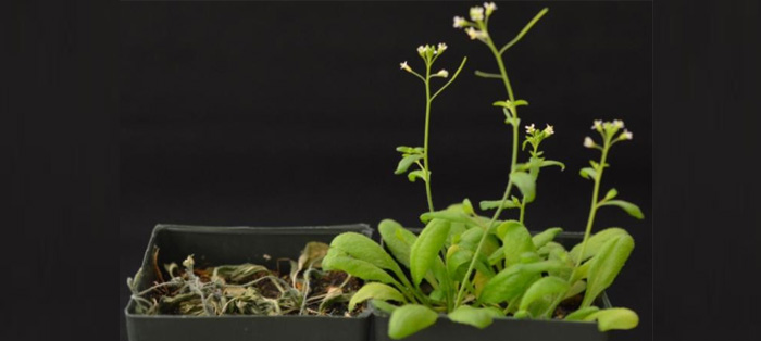 cutler实验室将工程受体以转基因方式导入拟南芥