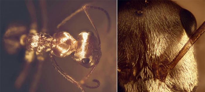 撒哈拉银色蚂蚁为什么会如此耐热?