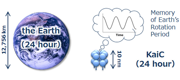 地球自转周期在原子水平的蛋白结构上也能实现编码?