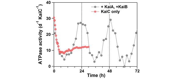 """图片说明:KaiC蛋白ATP酶的活性-时间曲线图。图片来源:IMS/NINS 为确定相应因果关系的结构性因素,科研人员对KaiC蛋白的N-末端结构域进行了高分辨率晶体学分析。由此产生的原子结构揭示了,相对于其他ATP酶,KaiC蛋白相对较慢的原因(如图3所示)。Jun Abe解释道:""""通过ATP磷酸基团周围的空间位阻效应,水分子在攻击相应ATP水解理想位置(图3中黑点位置)时受阻。此外,该位阻结构牢牢地固定在一种似弹簧结构上(由多肽异构体衍生而来)。ATP的水解过程包括水分子接近并结合在AT"""