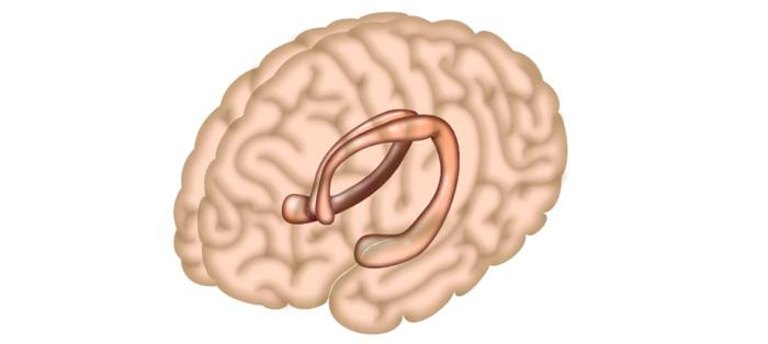 科学家揭示记忆模式如何在海马体中传递