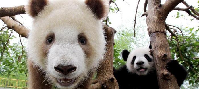 尽管他和其他大熊猫一样可爱,但是他却非常特殊.