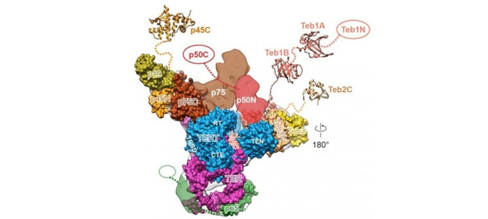 四膜虫体内的部分端粒酶蛋白质结构和人体内相似